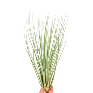 tillandsia juncifolia roślina powietrzna