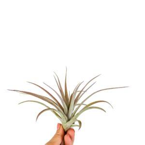 Tillandsia Multiflora multiftora oplątwa